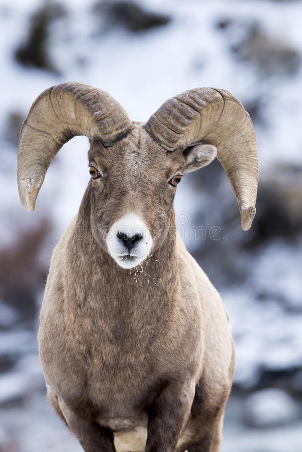 Bighorn Sheep in Snow stock photos