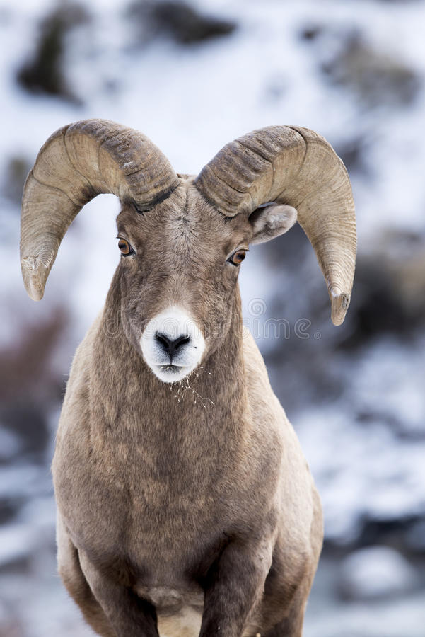 Bighorn Sheep in Snow royalty free stock images