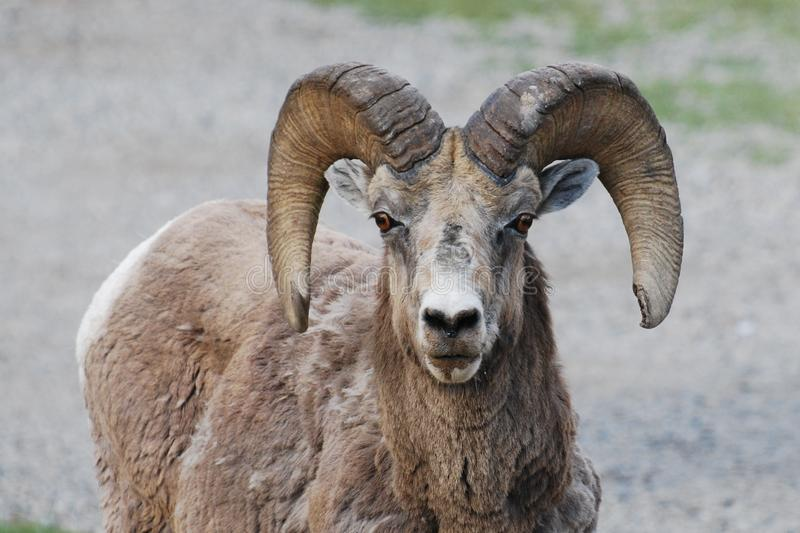 Bighorn Sheep staring royalty free stock photo