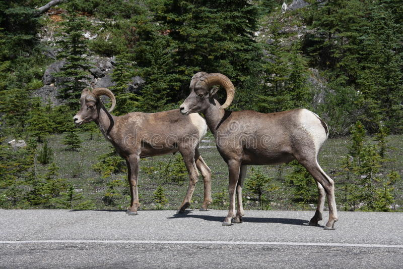 Bighorn Sheep stock photography