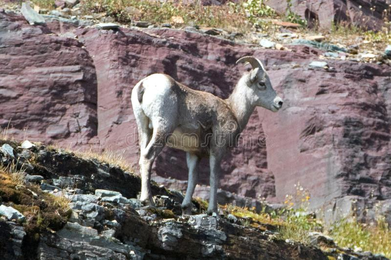 Bighorn Sheep walking on edge of cliff below Clements Mountain on Hidden Lake Pass in Glacier National Park in Montana USA. Bighorn Sheep walking on edge of royalty free stock photography