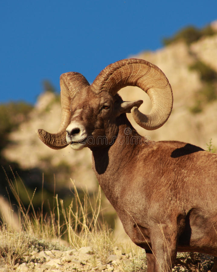 Bighorn sheep in the Wyoming Desert. A bighorn sheep in the Wyoming desert and beautiful blue sky royalty free stock image