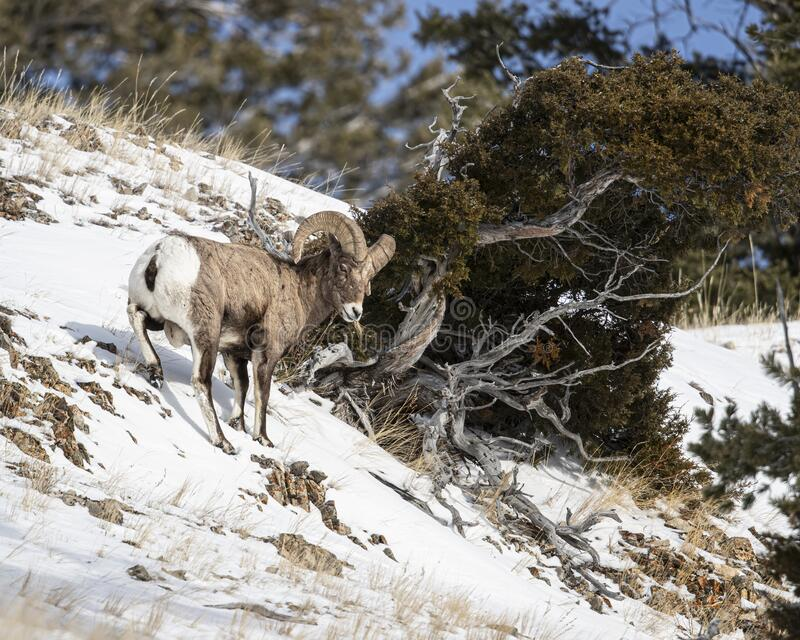 Bighorn Sheep, Yellowstone January 2020. Bighorn sheep find a way to survive in the freezing winter temperatures of Yellowstone National Park stock image