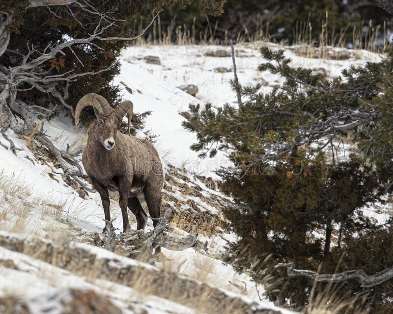 Bighorn Sheep, Yellowstone January 2020 stock images