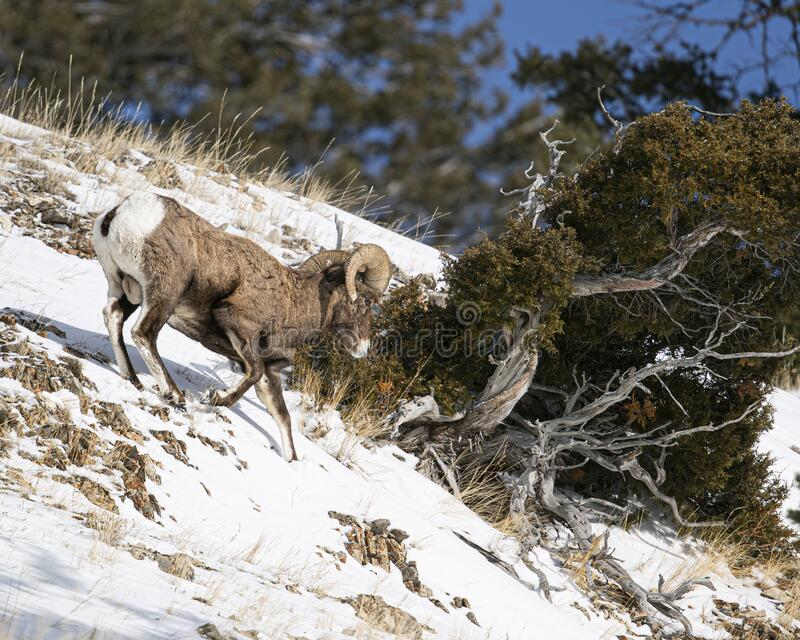 Bighorn Sheep, Yellowstone January 2020 royalty free stock photography