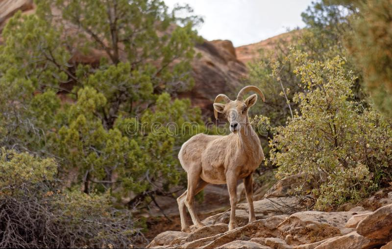 Bighorn sheep in Zion National Park stock photography