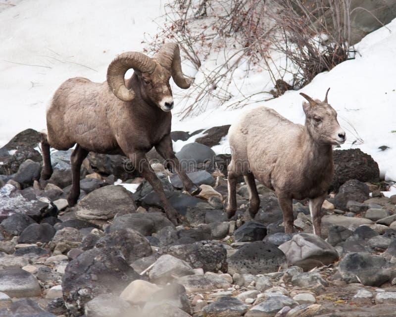 Bighorn Sheeps imagenes de archivo