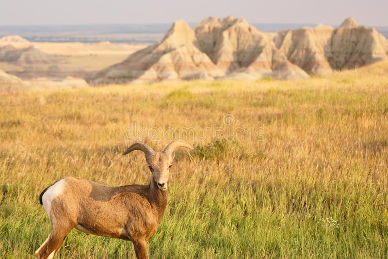 Bighornfår manliga Ram Badlands National Park South Dakota arkivbilder