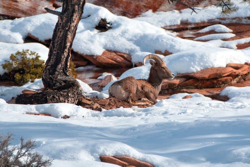Bighornfår rammar oviscanadensisen som lägger ner på solig vinterdag i Zion National Park i Utah USA arkivbilder