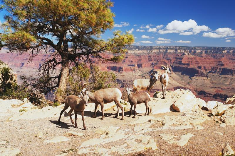 Bighorns in Grand Canyon royalty-vrije stock foto