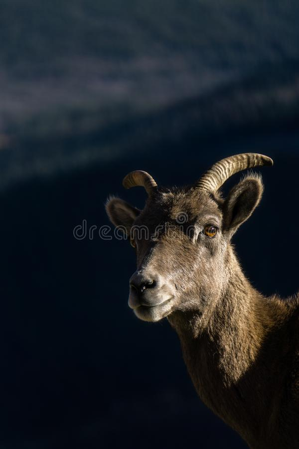 Bighornschapen in Colorado royalty-vrije stock foto