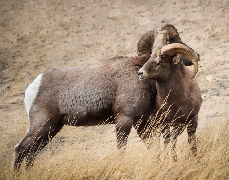 Bighornschapen in Colorado stock foto's