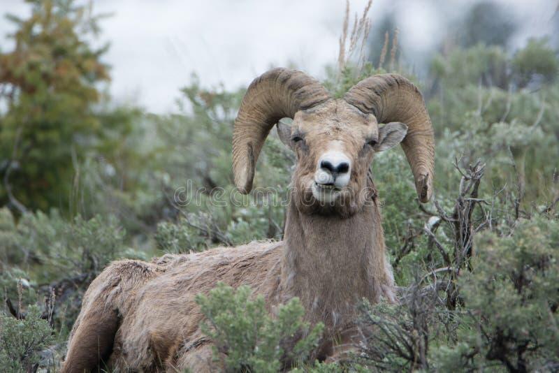 Bighornschapen die Grappig Gezicht in het Nationale Park van Yellowstone maken stock foto