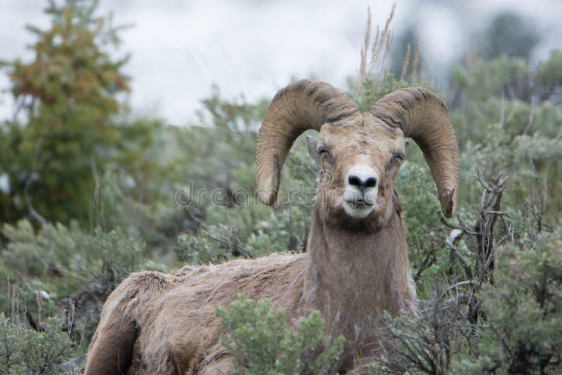 Bighornschapen die Grappig Gezicht in het Nationale Park van Yellowstone maken royalty-vrije stock afbeeldingen