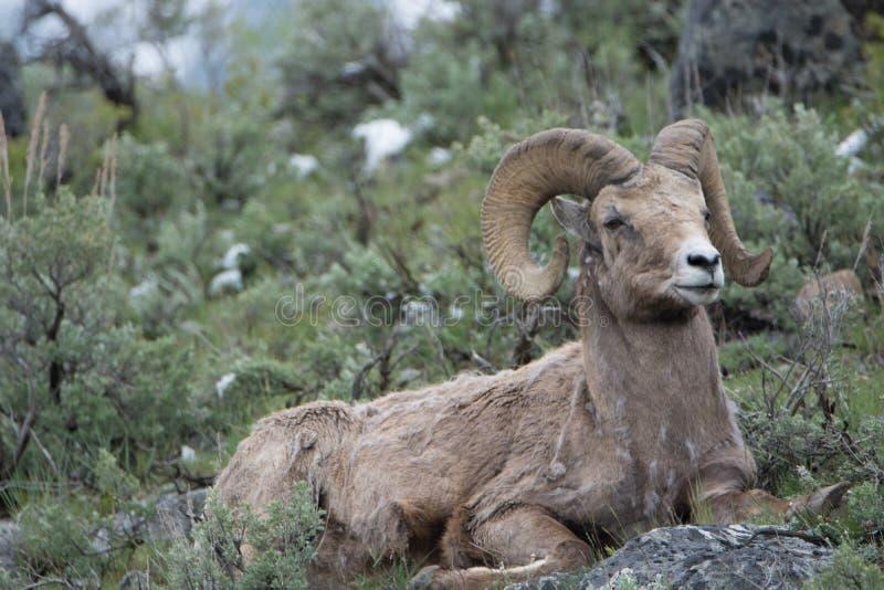 Bighornschapen in het Nationale Park van Yellowstone stock fotografie