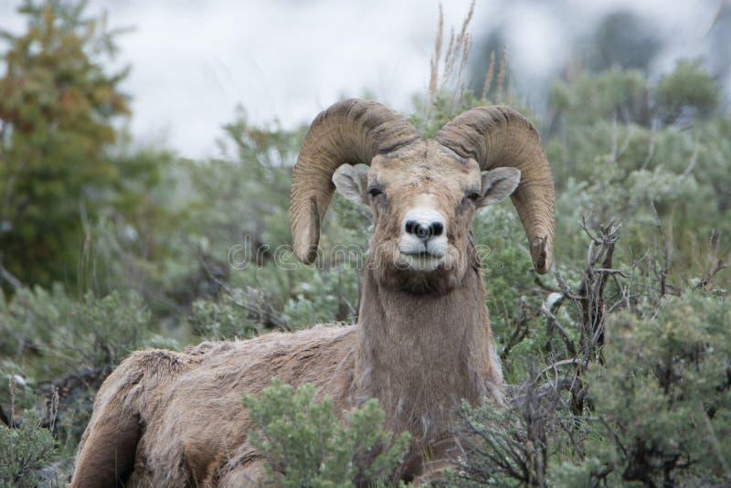 Bighornschapen in het Nationale Park van Yellowstone royalty-vrije stock afbeeldingen