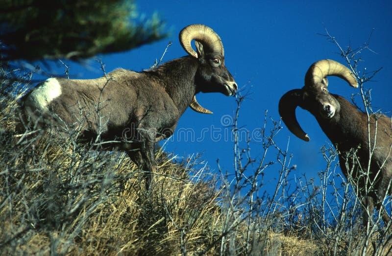 Bighornstridighet Rams Får Royaltyfria Bilder
