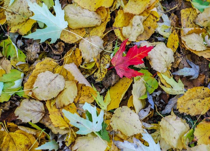 Bight Czerwony liść klonowy Wśród inny opuszcza kolory na jesień dniu fotografia stock