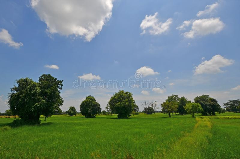 White clouds in blue sky over the field. Bight white clouds in blue sky over green rice field with big trees in Thailand royalty free stock image