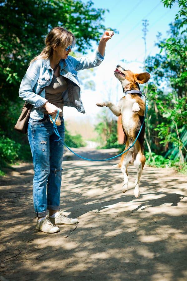 Bigle wie Hund auf der Leine, die springt, um Belohnung zu erhalten - s??en Leckerbissen lizenzfreie stockfotografie
