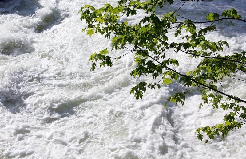 Bigleaf lönn över den Merced floden, Yosemite nationalpark arkivbild