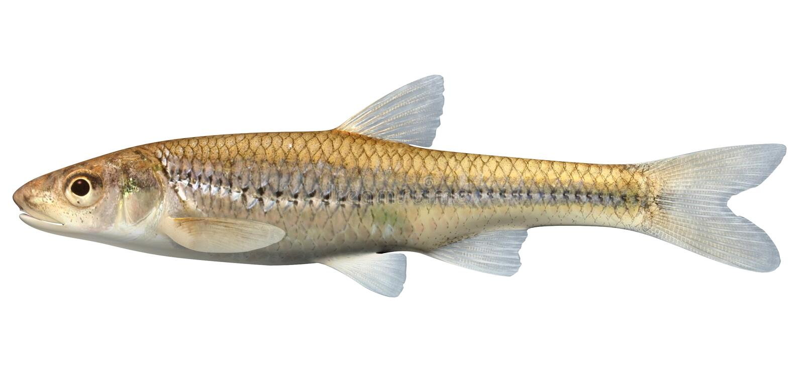 Bigmouth Shiner. Fish isolated on white backgroundnd vector illustration