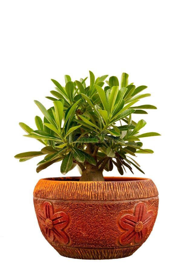 bignonia flowerpot menchie zdjęcie stock