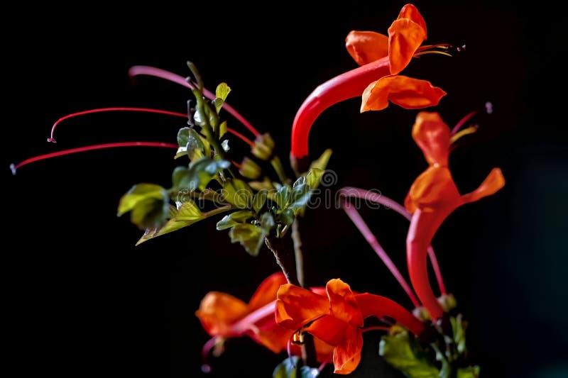 Bignonia with orange-red flower royalty free stock photos