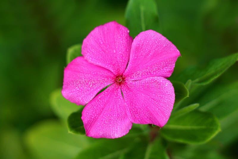 Bigorneau du Madagascar ou fleur rose simple de roseus de Catharanthus arrosée avec des baisses de l'eau de rosée de matin sur le photographie stock libre de droits