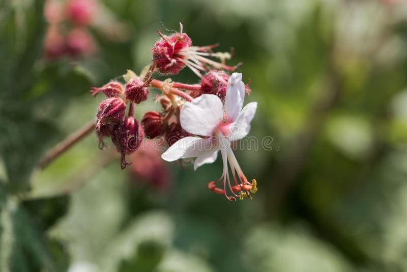 Bigroot geranium Geranium macrorrhizum royalty free stock image