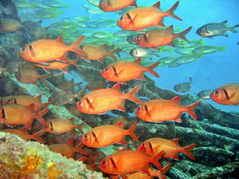 bigscale soldierfish obrazy royalty free
