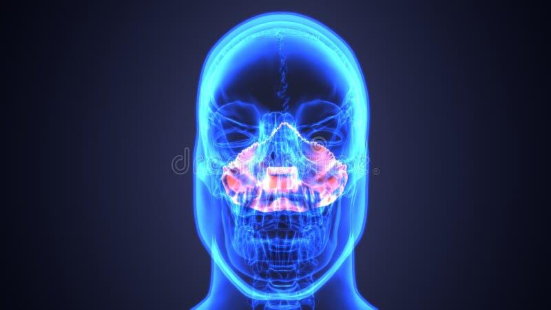 bihåleinflammation av den mänskliga skallen med inflammerat på bihålan anatomi för illustration 3d stock illustrationer
