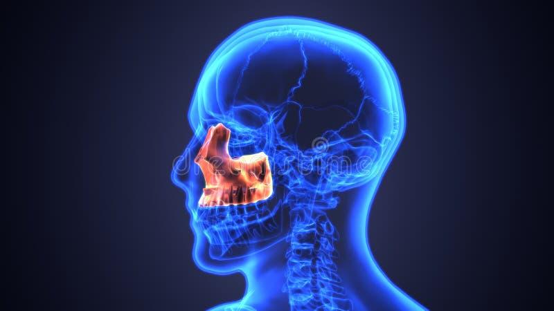 bihåleinflammation av den mänskliga skallen med inflammerat på bihålan anatomi för illustration 3d royaltyfri illustrationer