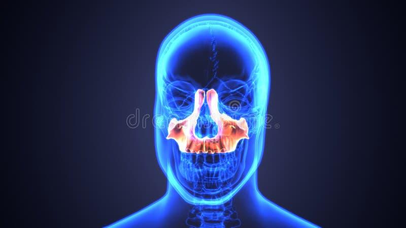 bihåleinflammation av den mänskliga skallen med inflammerat på bihålan anatomi för illustration 3d vektor illustrationer