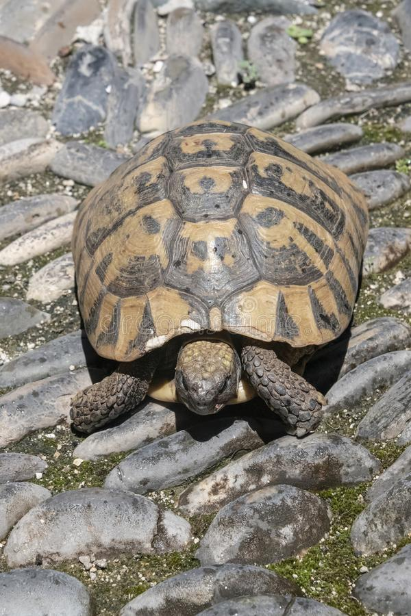 Tortoise walking along the street. BIH, Mostar - June 2018: Tortoise walking along the street stock photography