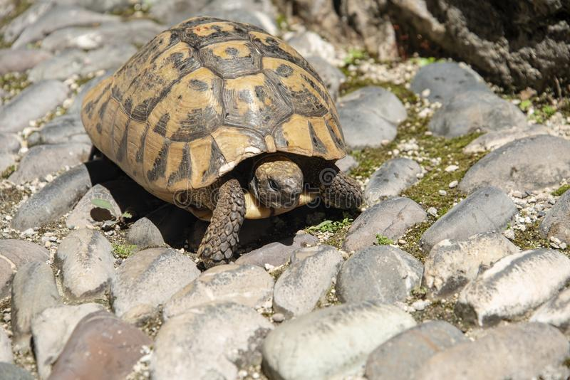 Tortoise walking along the street. BIH, Mostar - June 2018: Tortoise walking along the street royalty free stock images