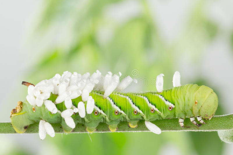 Biiologicalcontrole van tabak hornworm stock foto's