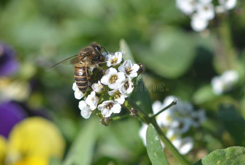 Bij bezige het drinken nectar stock afbeeldingen