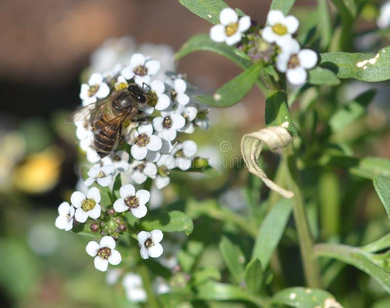 Bij bezige het drinken nectar stock foto