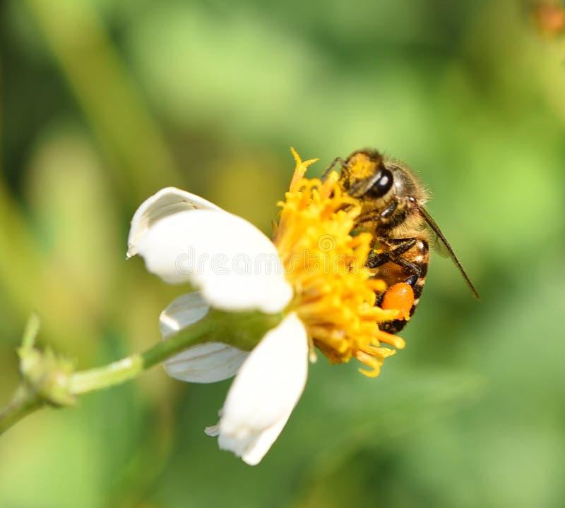 Bij bij bloem het achtergrondonduidelijke beeld stock foto