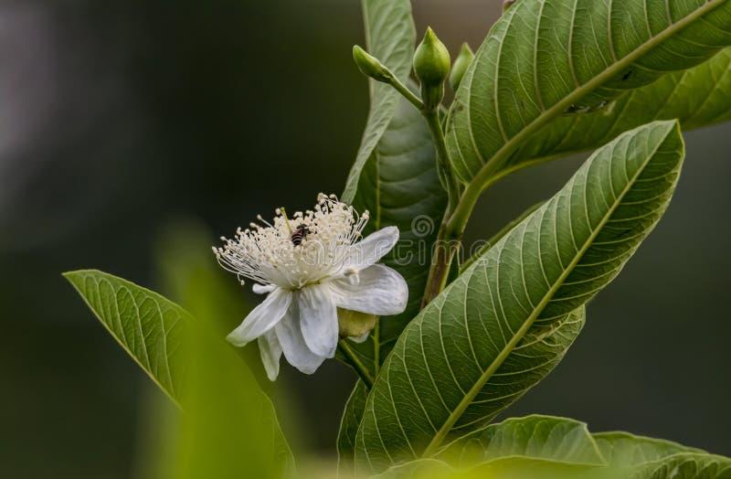 Bij binnen de bloem van een guaveboom stock afbeeldingen