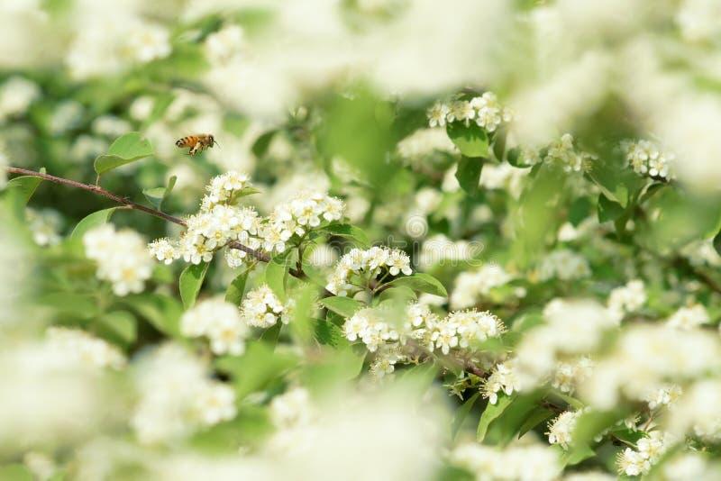 Bij in bloemen stock foto