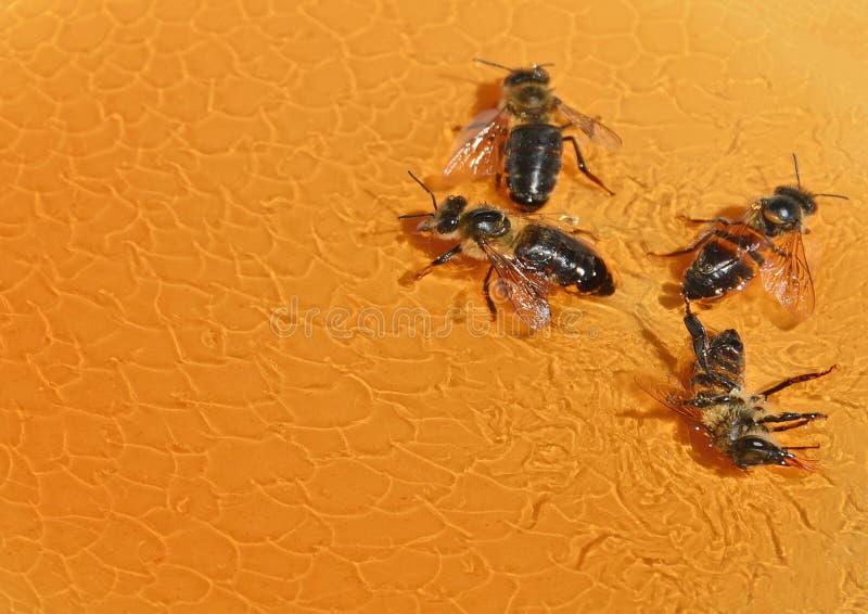Bij in de honing stock foto's