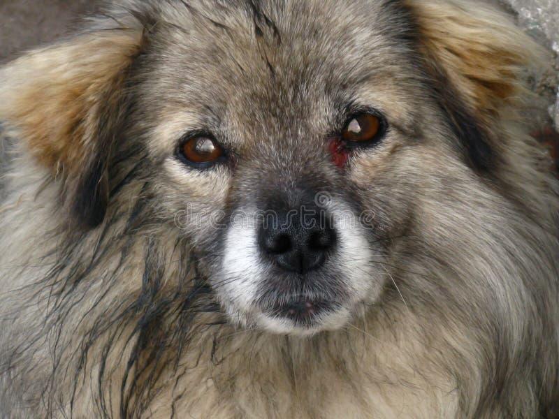 Bij de Ongelukkige die Hond de hoek van een oog, de kras in een strijd wordt ontvangen, stock foto's