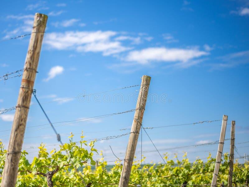 Bij de wijngaard Van Frankenland stock afbeeldingen