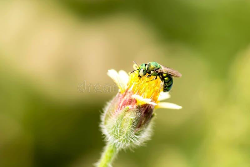 Bij die aan de bloem vliegen royalty-vrije stock fotografie