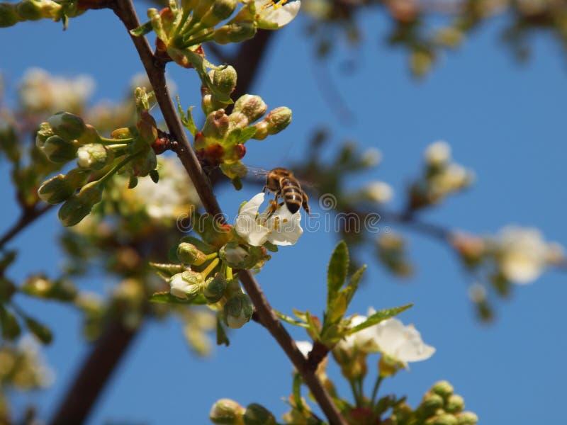 Bij die aan de kersenbloem vliegen stock afbeelding
