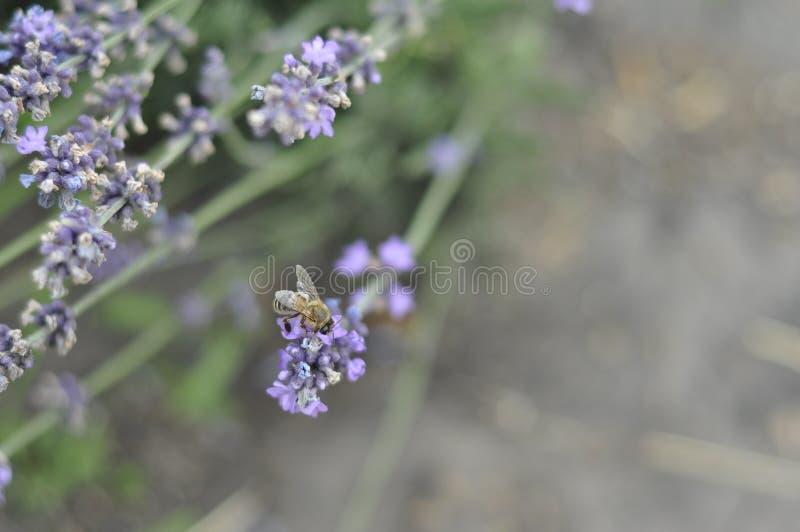Bij die een lavendelbloem in een bed van de de zomerbloem voor honingsproductie bestuiven royalty-vrije stock foto