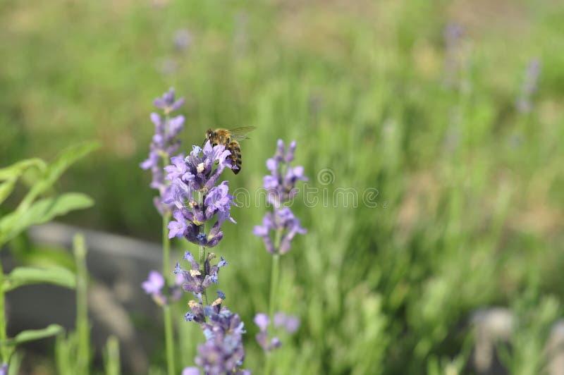 Bij die een lavendelbloem in een bed van de de zomerbloem voor honingsproductie bestuiven royalty-vrije stock fotografie