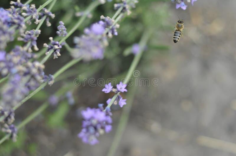 Bij die een lavendelbloem in een bed van de de zomerbloem voor honingsproductie bestuiven stock afbeeldingen